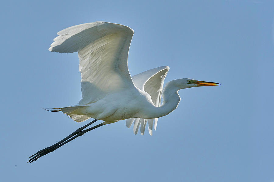 Birds Photograph - Great Egret, Yolo County California by Doug Herr