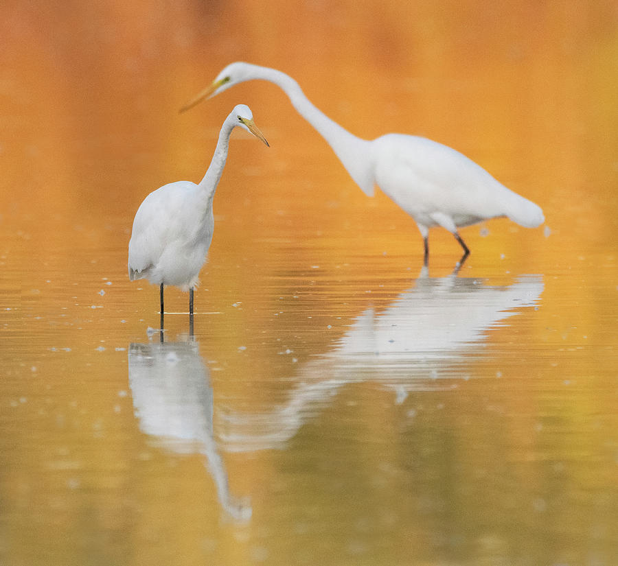 Great Egrets 6548-092019 by Tam Ryan