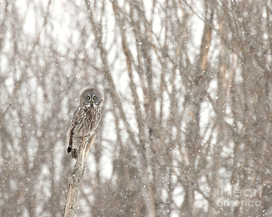 Great Gray On A Snowy Day Photograph