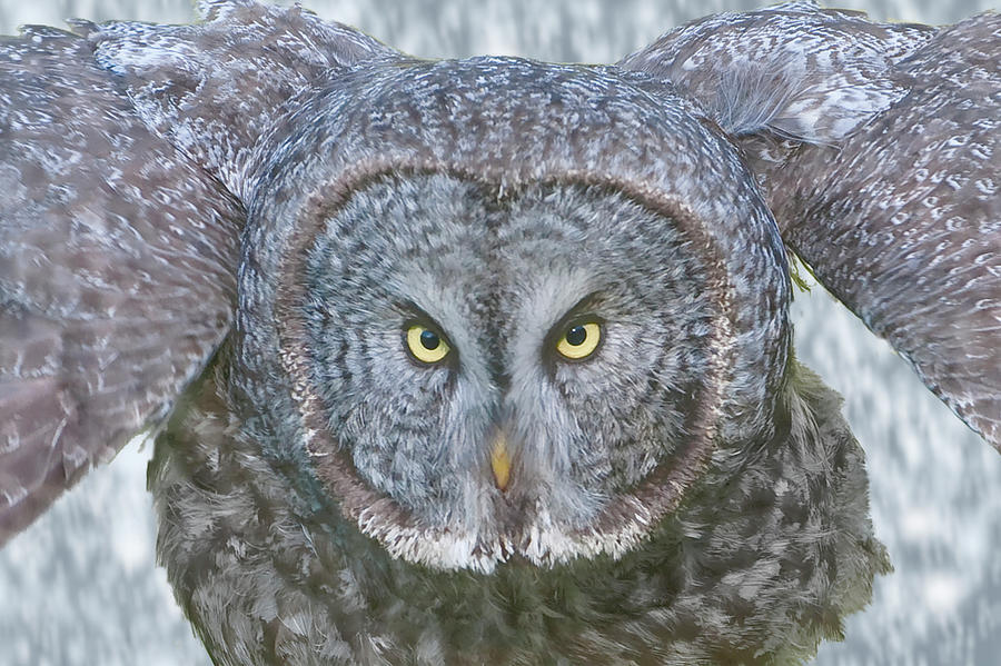 Great Gray Owl in Falling Snow by Mark Miller