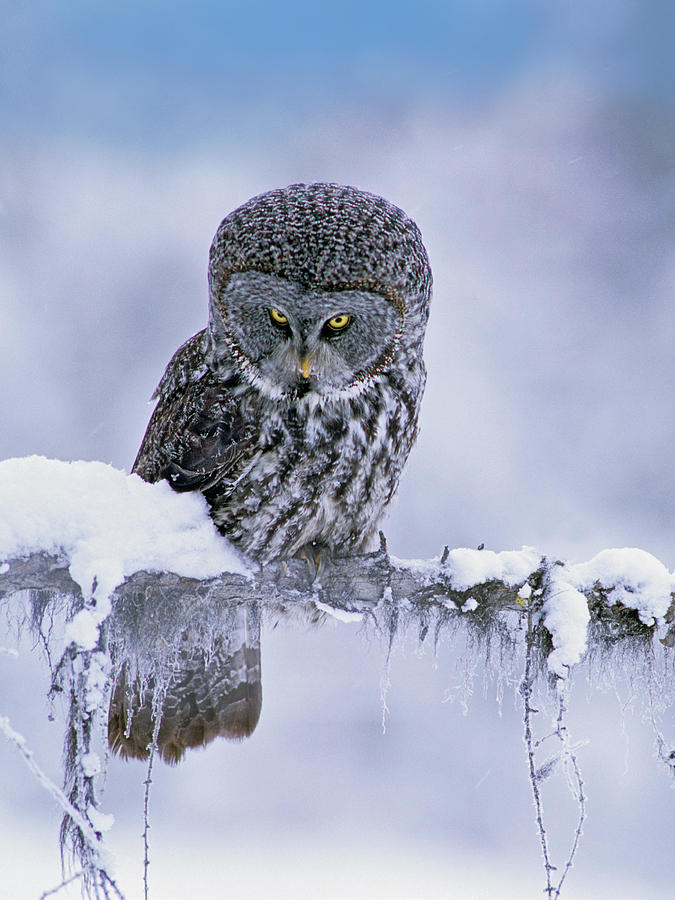 Mp Photograph - Great Gray Owl In Winter, North America by Tim Fitzharris