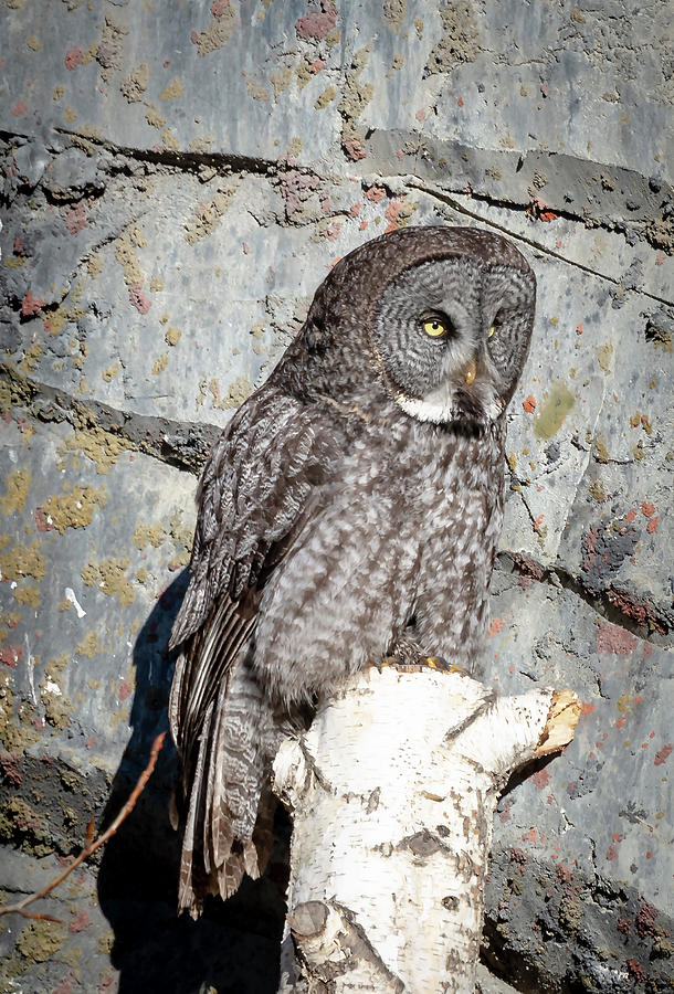 Great Gray Owl by Philip Rispin