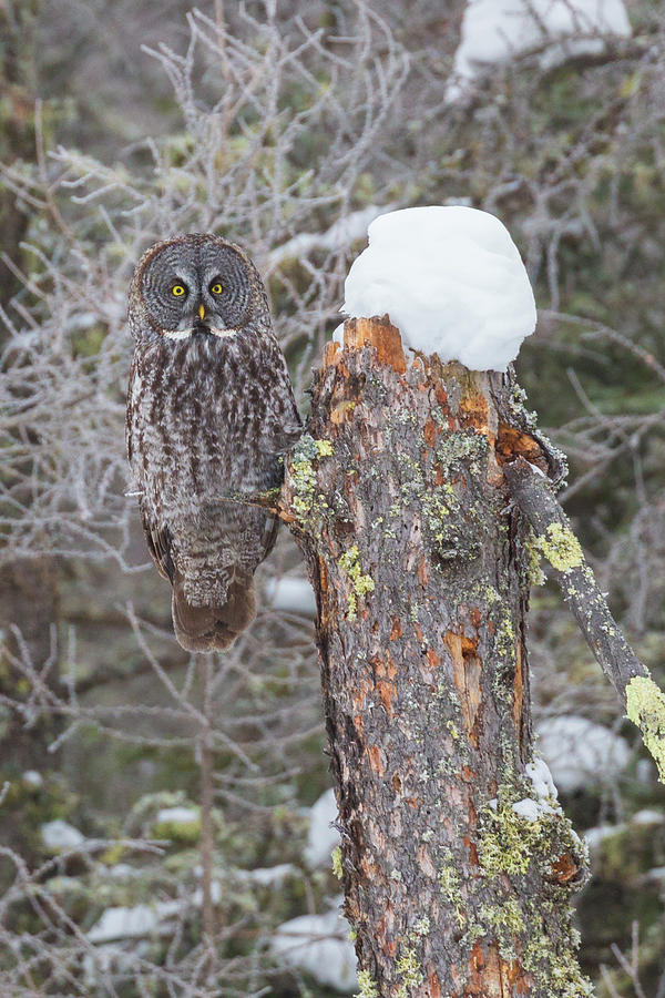 Great Gray Owl Sax Zim Bog by Paul Schultz