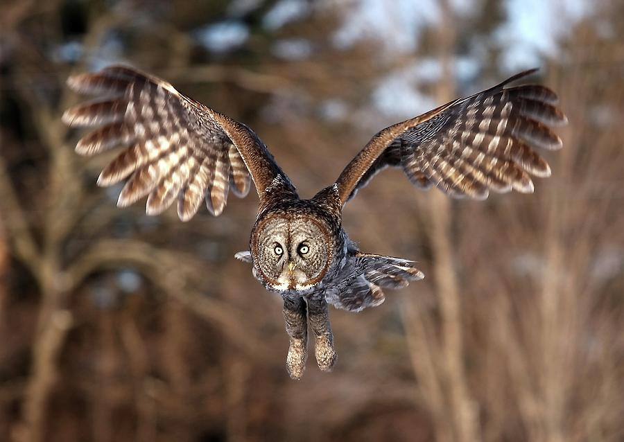 Great Gray Owl Swoops Down Photograph by Jim Cumming