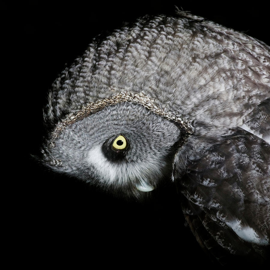 Great Grey Owl Strix Nebulosa, Close-up Photograph by Roine Magnusson