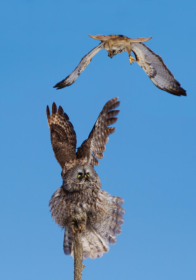 Red-tailed Photograph - Great Grey Owl Vs Red-tailed Hawk by Mircea Costina