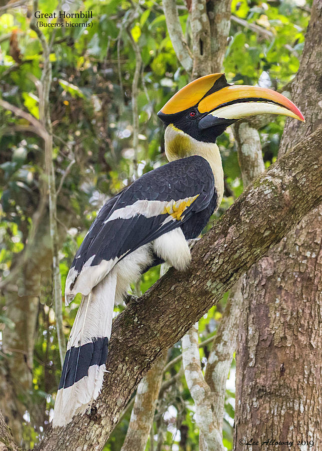 Great Hornbill by Lee Alloway