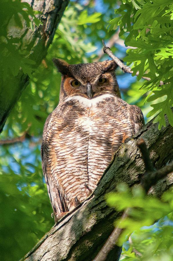 Great Horned Owl 5 by Steve Stuller