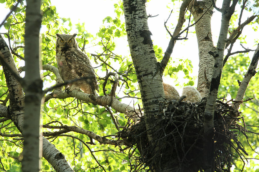 Great Horned Owl and Babies by Ryan Crouse