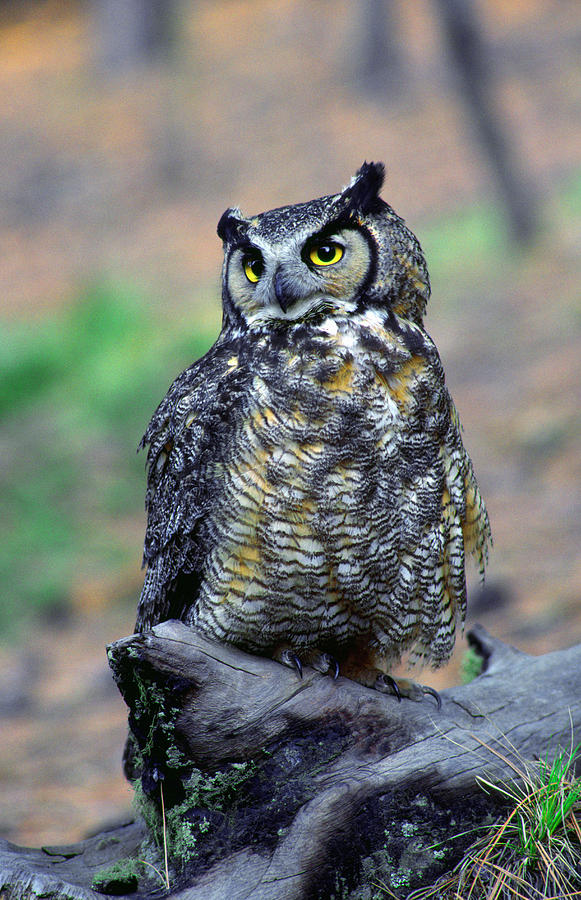 Vertical Photograph - Great Horned Owl B. Virginianus by Panoramic Images