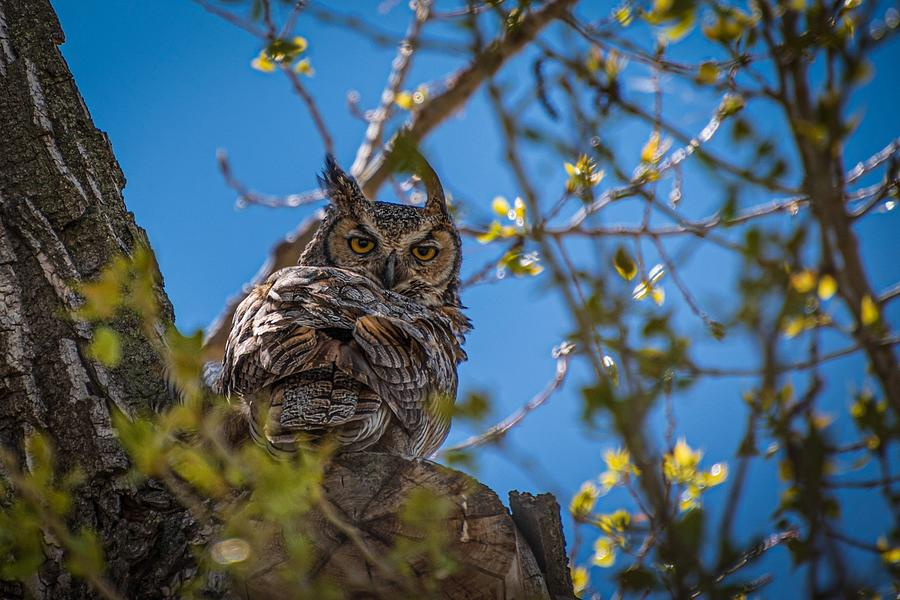 Great Photograph - Great Horned Owl  by Christopher Thomas