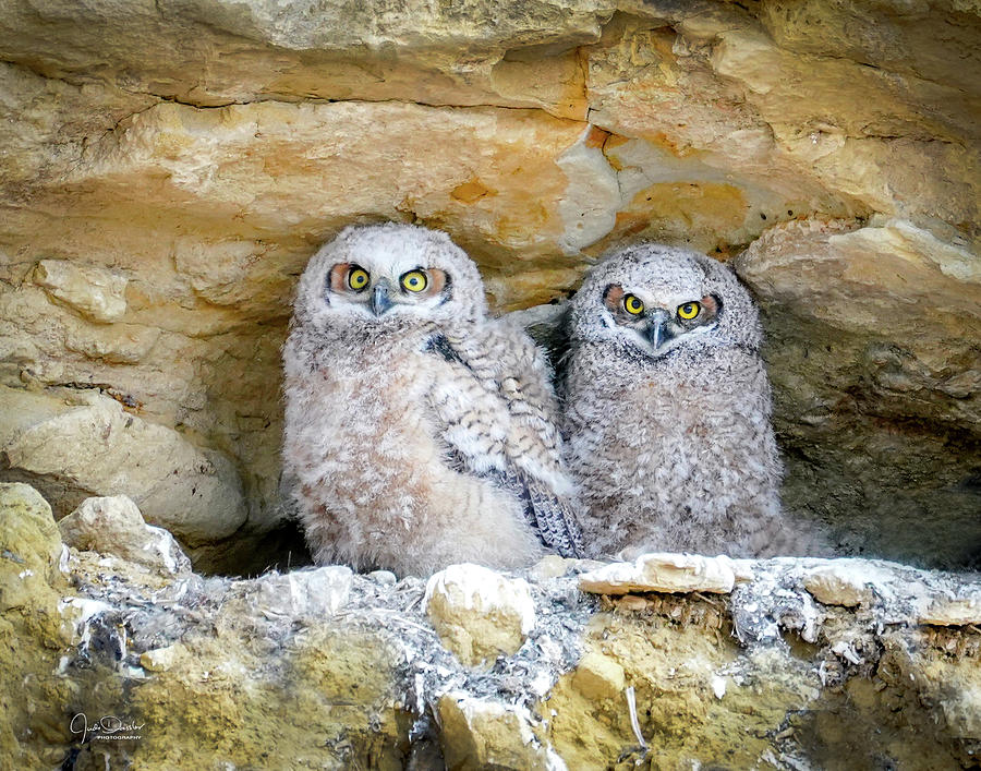 Great Horned Owl Cliff Nest by Judi Dressler