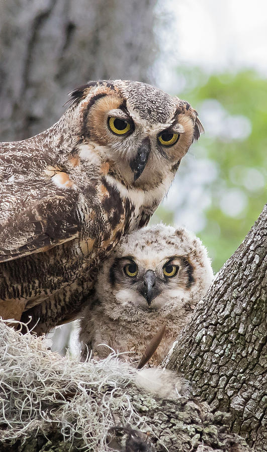 Great Horned Owl Family by Georgia Wilson