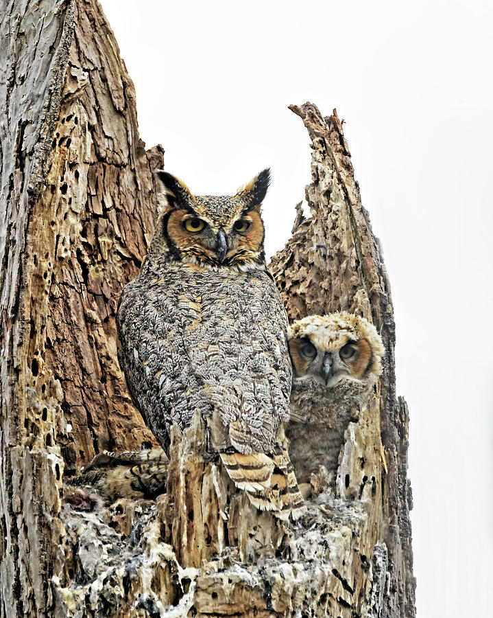 Great Horned Owl Family  by Jim Zablotny