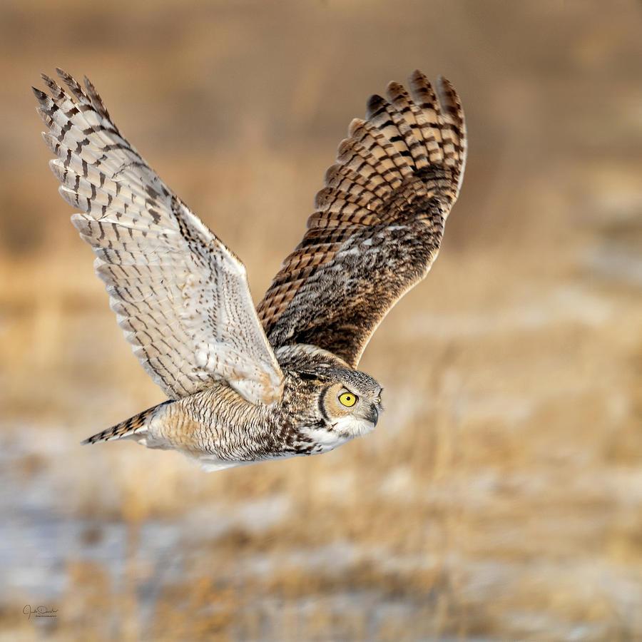 Great Horned Owl in Flight by Judi Dressler