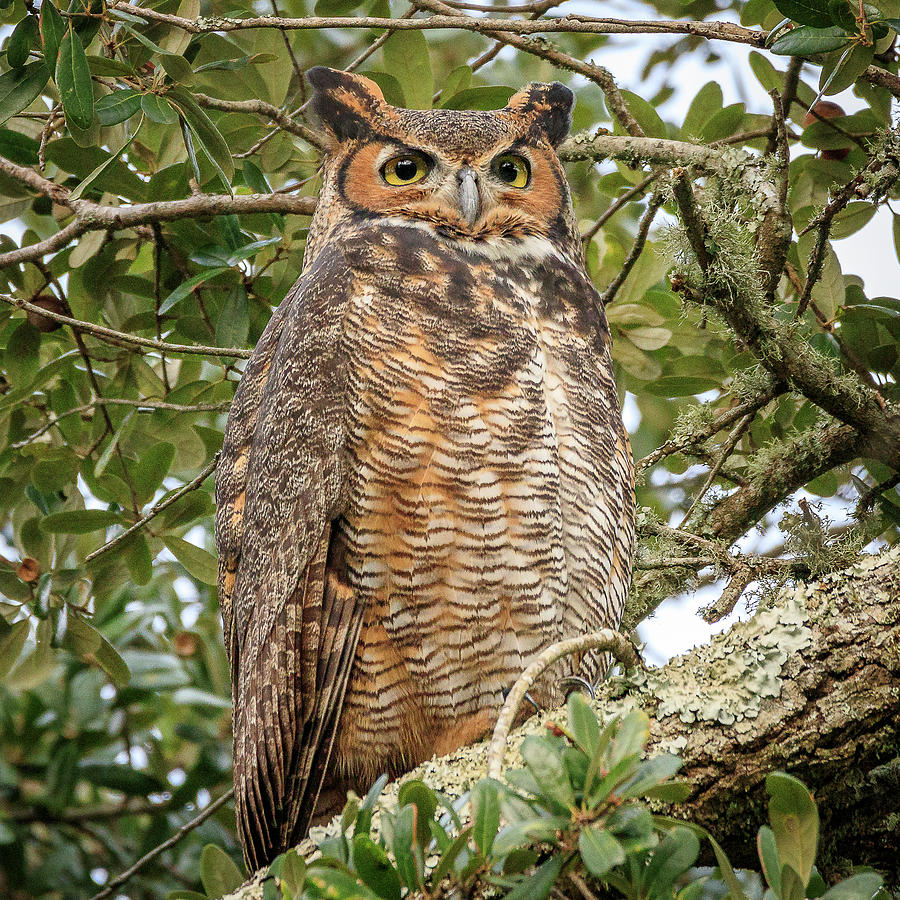 Great Horned Owl by JASawyer Imaging