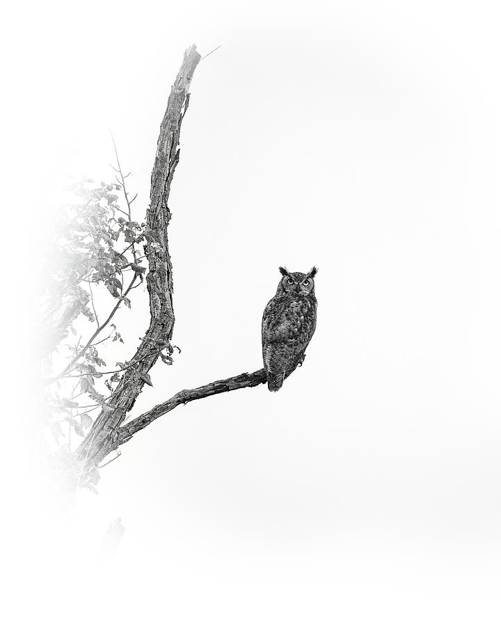 Great Horned Owl by Jeff Phillippi