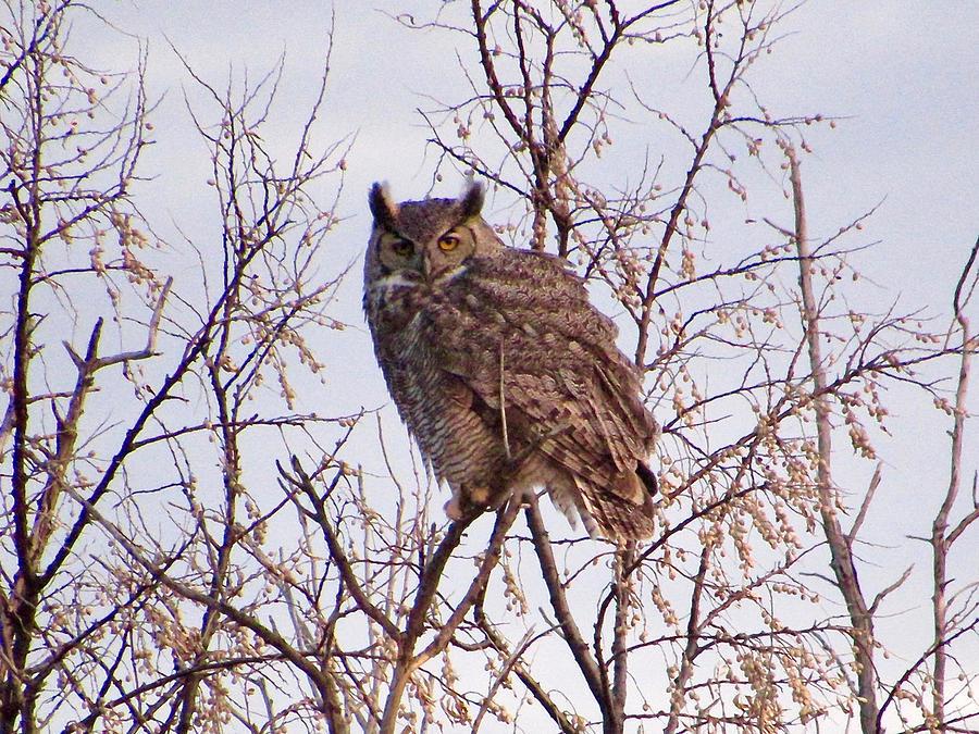 Great-horned Owl by Luke Miller