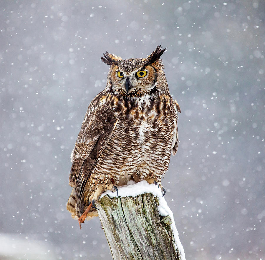 Great Horned Owl Photograph by Paul Bruch Photography