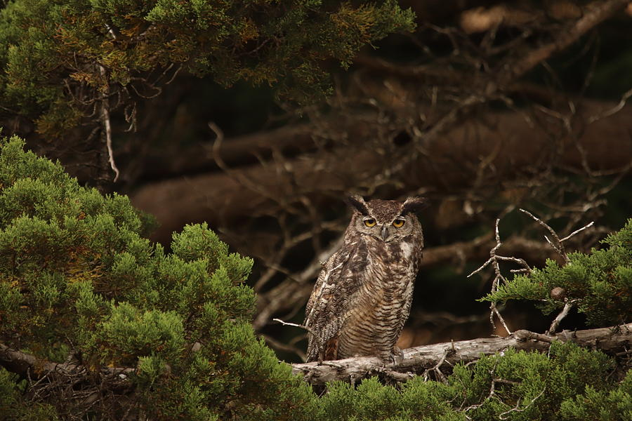 Great Horned Owl by Paul Comish