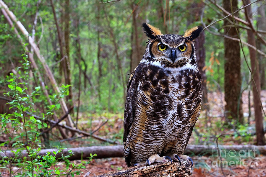 Great Horned Owl Standing On A Tree Log Photograph