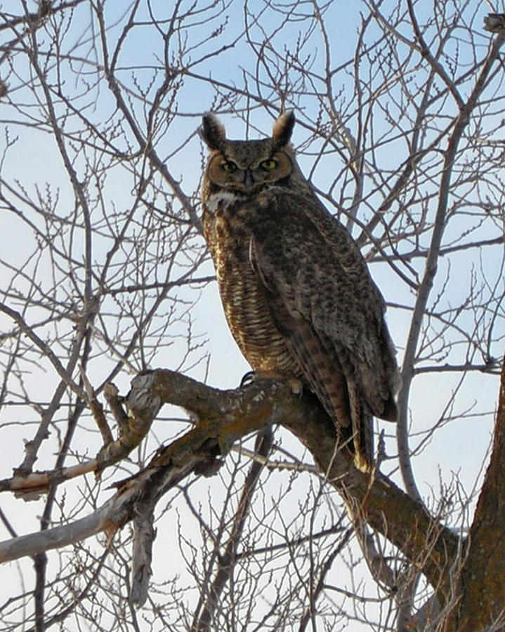 Great Horned Owl by Whispering Peaks Photography