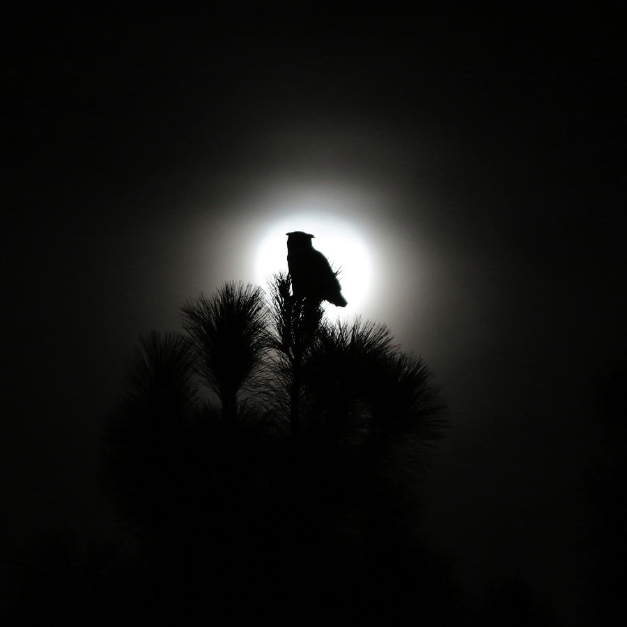 Great Horned Owl Photograph - Great Horned Owl With Winter Moon by Robin Street-Morris