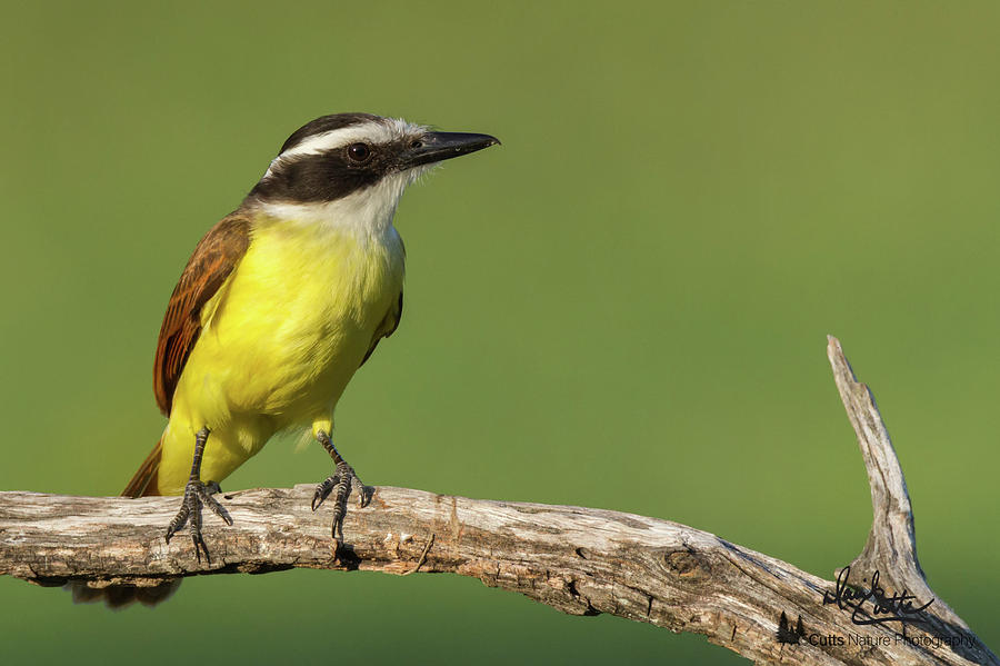 Great Kiskadee by David Cutts