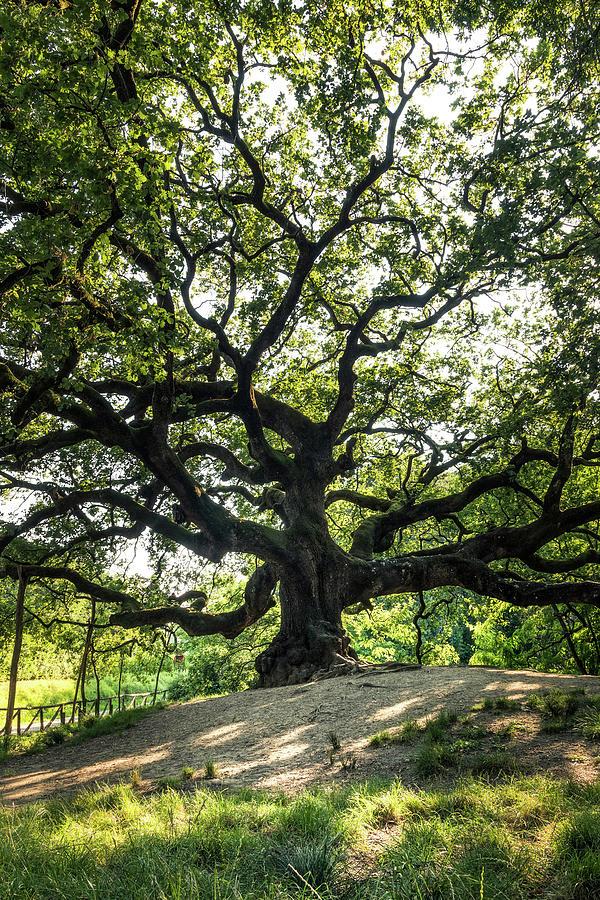 Great Oak - the Great Oak in Montecarlo near Lucca, Tuscany, Italy by Matteo Viviani