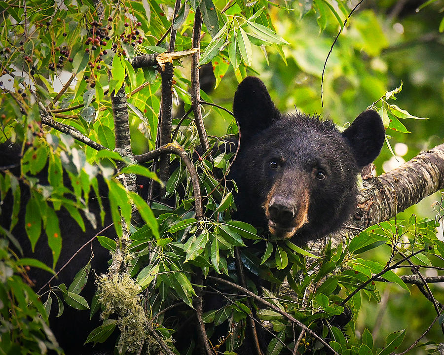 Great Smoky Mountains Bear - Black Bear by Mike Koenig
