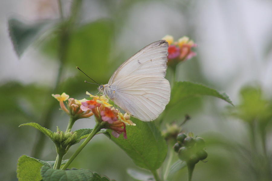 Butterfly Photograph - Great Southern White Butterfly by Callen Harty