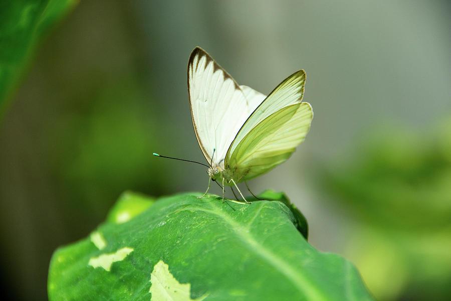 Great Southern White Butterfly by Jennifer Wick