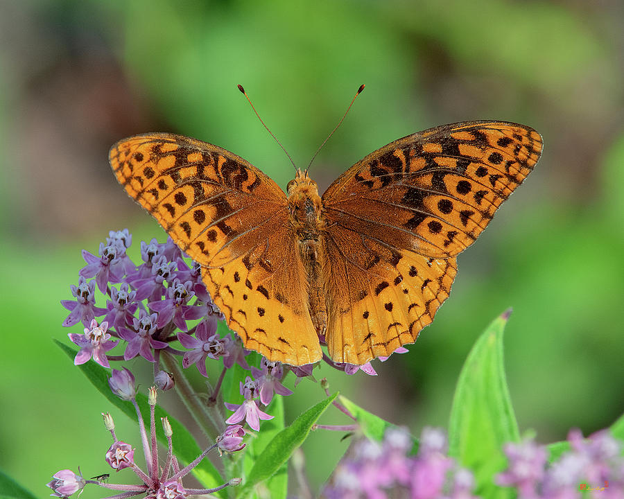 Great Spangled Fritillary DIN0296 by Gerry Gantt