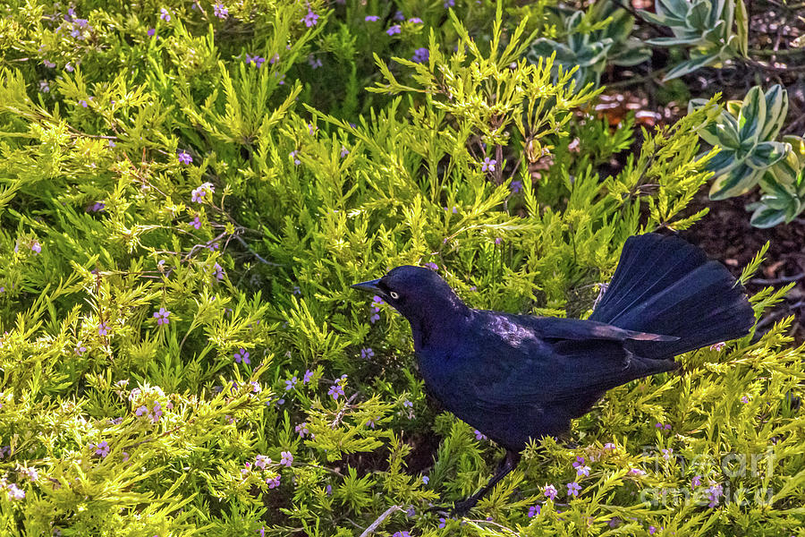 Great-tailed Grackle in Flowers by Kate Brown