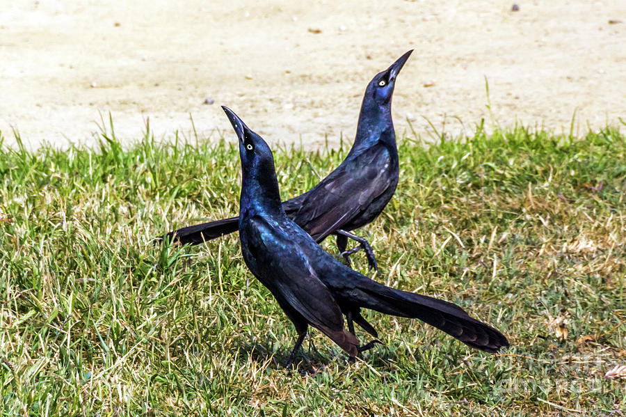 Great-tailed Grackles Looking Up by Kate Brown