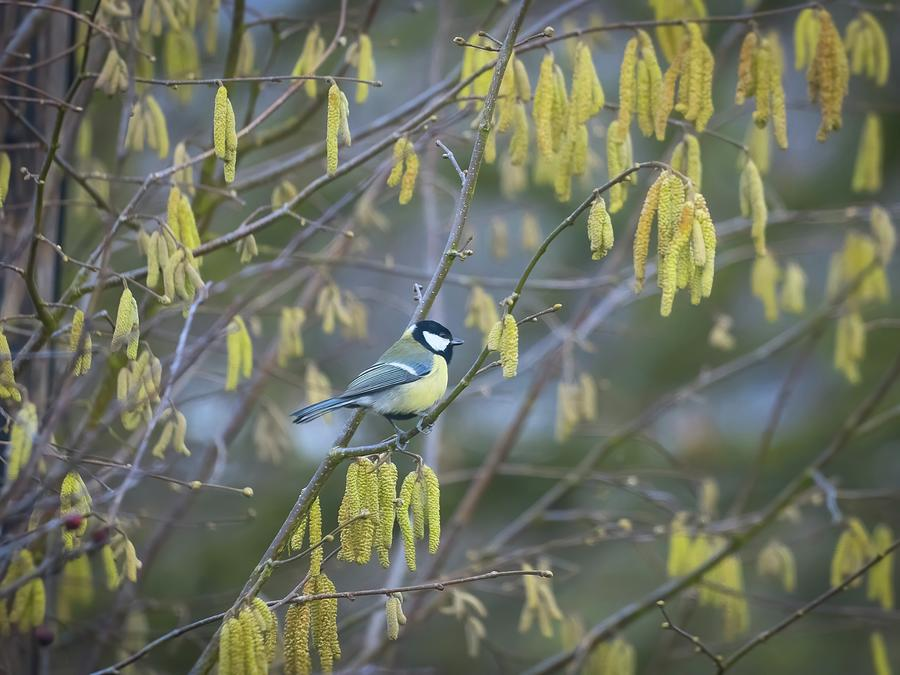 Great Tit and catkins by James Lamb
