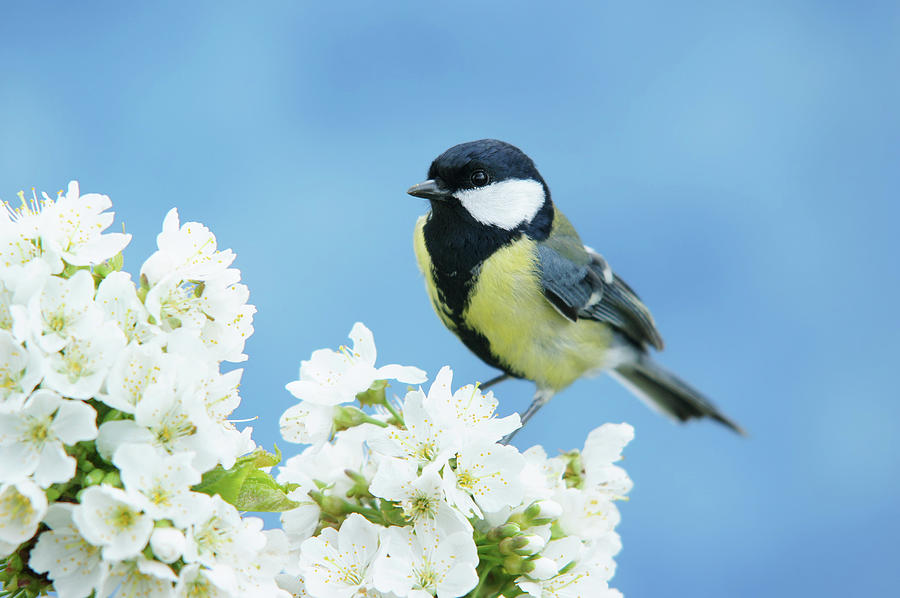 Great Tit On A Blossoming Twig Photograph by Schnuddel