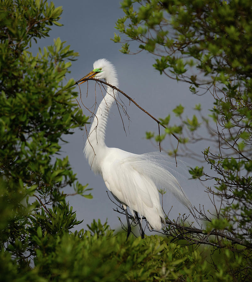 Great white egret 4 by Kenny Nobles