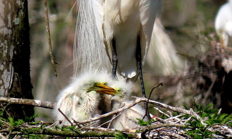 Great White Egret and Babies by Betty Berard