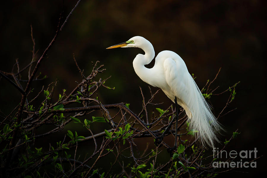 Great White Egret at Twilight by Sabrina L Ryan