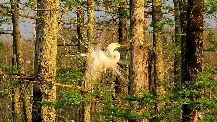 Great White Egret Breeding Plumage by Betty Berard