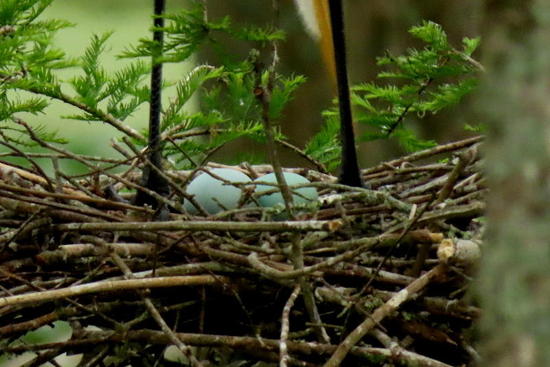 Great White Egret eggs by Betty Berard