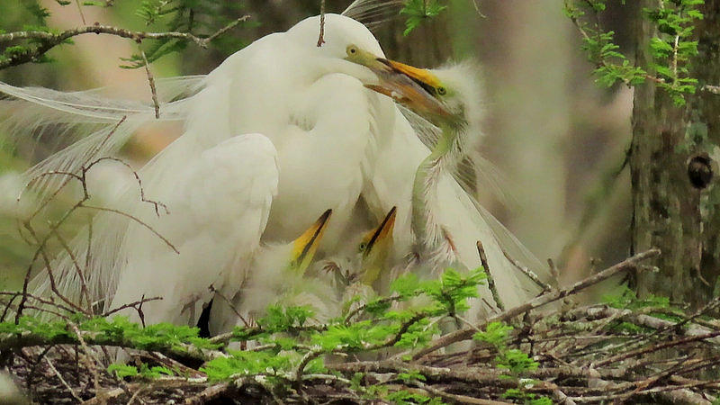 Great White Egret Feeding Babies by Betty Berard