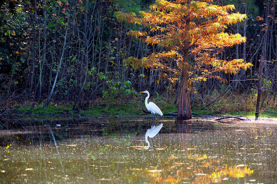 Great White Egret In Autumn Photograph
