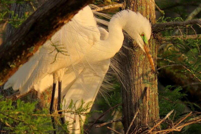 Great White Egret in Breeding Plumage by Betty Berard