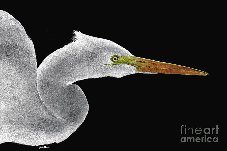 Egret Drawing - Great White Egret by Sheryl Unwin