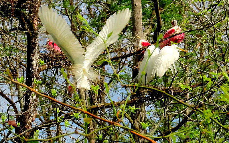 Great White Egrets and Roseate Spoonbills by Betty Berard