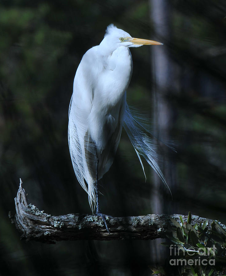 Great White Heron Silky Feathers Photograph