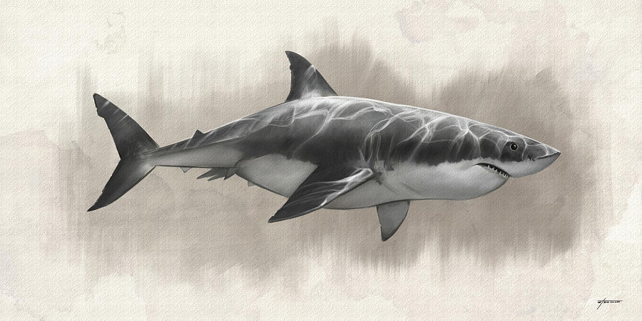 Great White Shark Drawing by Steve Goad
