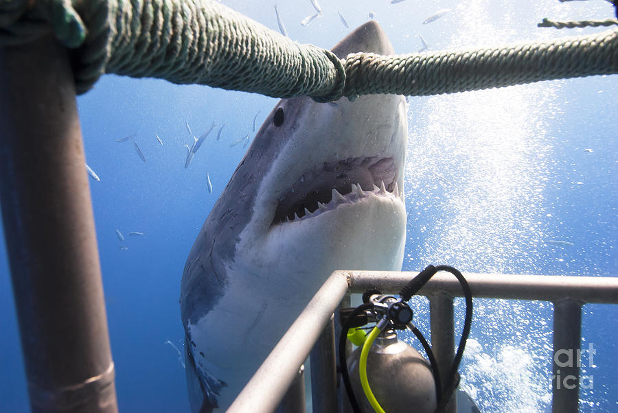 Shark Jaws Photograph - Great White Shark Showing Its Teeth by Visiondive